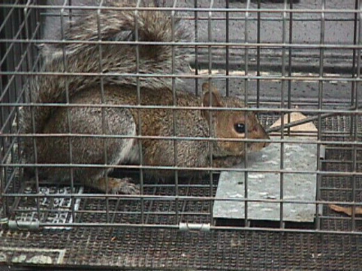 Squirrel in a cage.