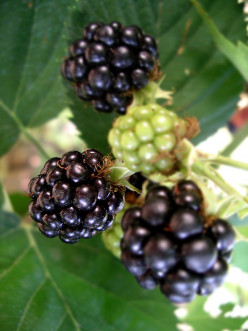 How to Pick Wild Blackberries and Raspberries