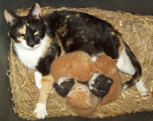 A mother cat and her litter of kittens.