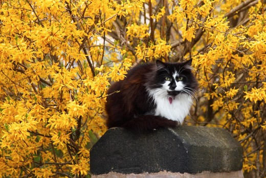 Cat with forsythia