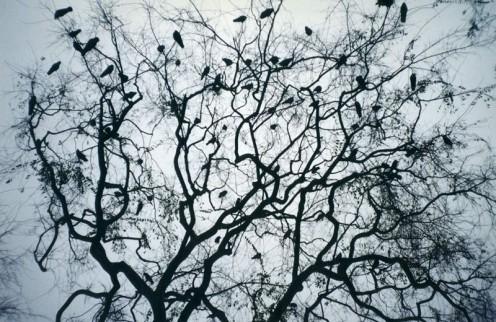 A Murder of Crows (Author: Jesse Weinstein)
