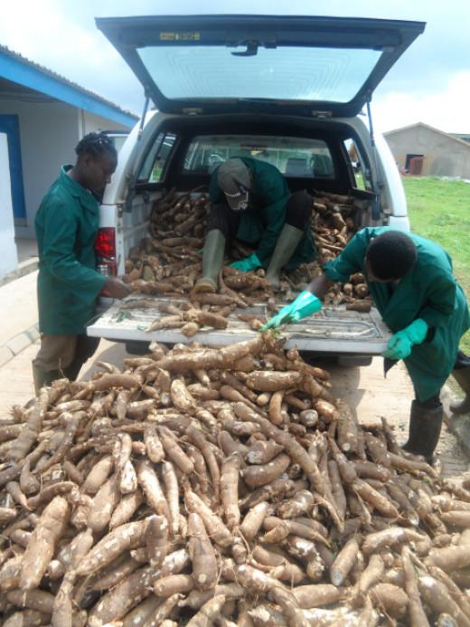 The Cassava Arrives