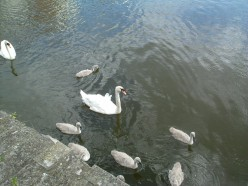 Making waves, creating the ripples.  Swans on the Serpentine, London