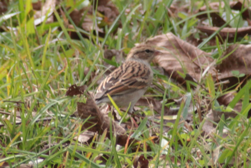 First year Chipping Sparrow wintering in Texas.  May have come from Canada.