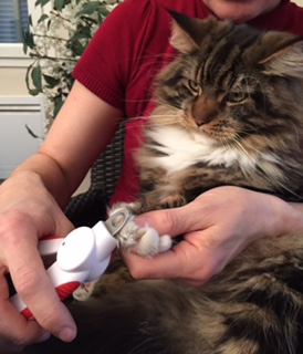 Before bathing your cat it is a good idea to trim his nails.