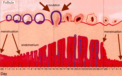 The menstrual cycle, ovulation, and uterine lining build up connection.