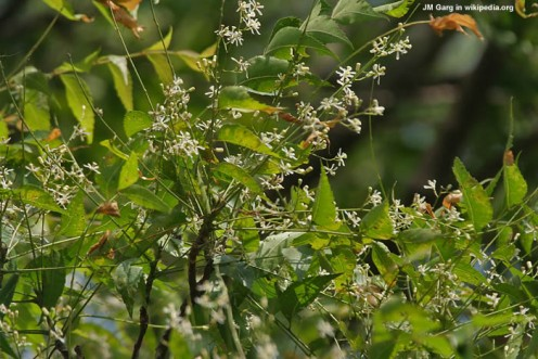 Neem Tree in bloom