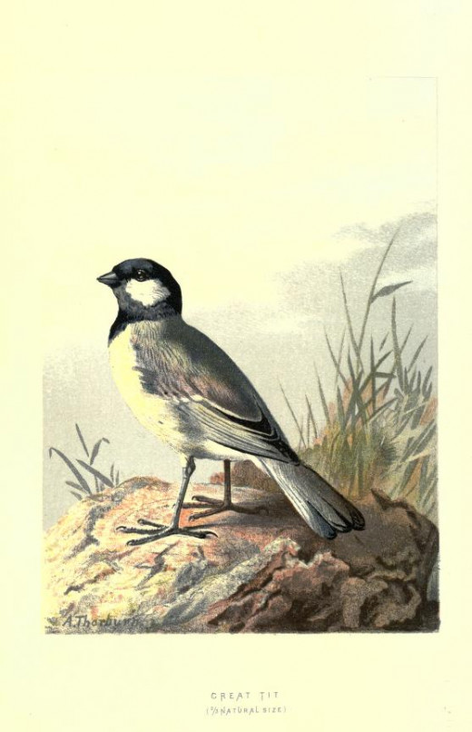 Public domain courtesy of the BHL Familiar Wild Birds -Swaysland. drawn by A.Thorburn