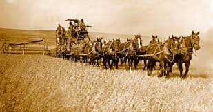 Wheat farming in the old days