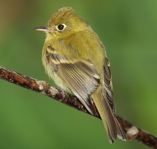 The New World Flycatchers are unrelated species. Image taken in Panama.