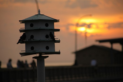 Man made houses for the Purple Martin bird