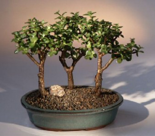 Bring that Enchanted Forest that Mom has always told you about back to her this Mother's Day.   The art of bonsai is proven to be relaxing and provides many other health benefits that only trees and plants can provide.