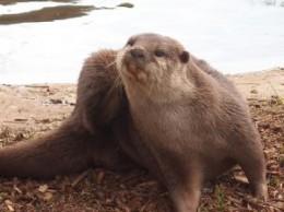 An otter having a scratch.