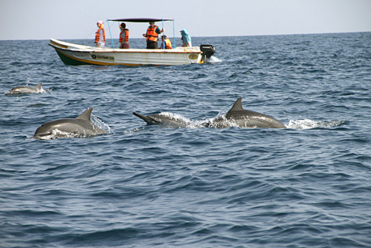 Bottlenose dolphins in Trinco