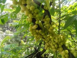 Ripe Indian Gooseberries
