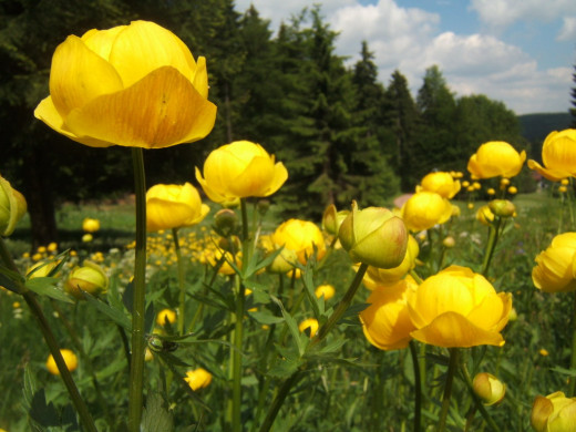 These beautiful globe shaped flowers shown here growing wild in Vesser Valley Germany are ideal for our purpose