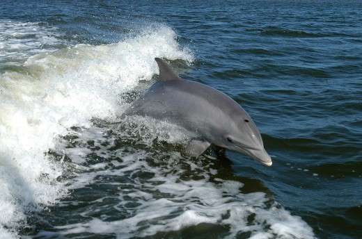 A bottlenose dolphin swimming in the ocean.  The Gulfarium Marine Adventure Park has had a dolphin named Delilah since June 1980.  She loves to play with a soccer ball and interact with her trainers.  In 2003, Delilah gave birth to Lily.