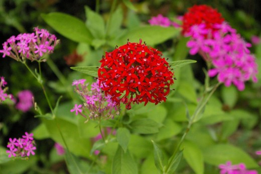 Red Pentas in the flower garden