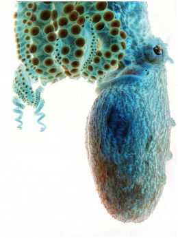 Negative Octopus by Sarah Jackson Smithsonian Magazine July 2012