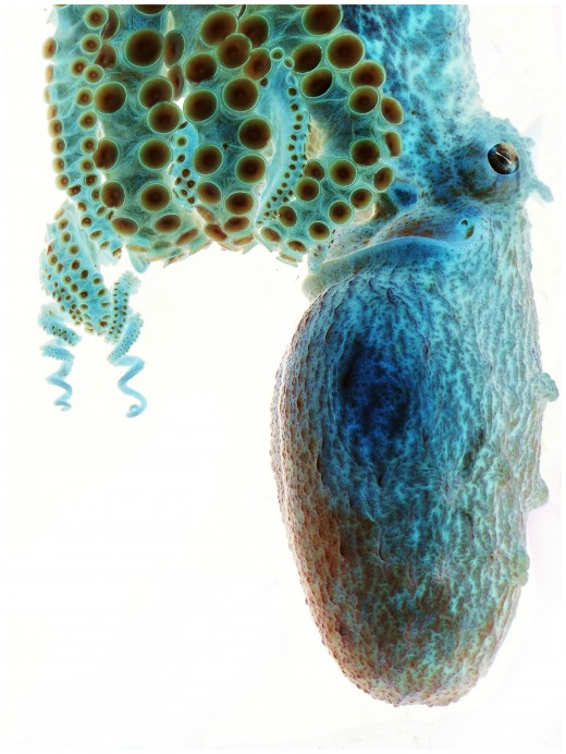 Negative Octopus by Sarah Jackson Smithsonian Magazine July 2012