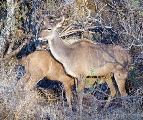 A kudu mum feeds her baby. Photo: Di Robinson