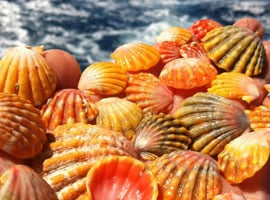 Sunrise Shells are named for their resemblance to the iconic sunrise of the islands.