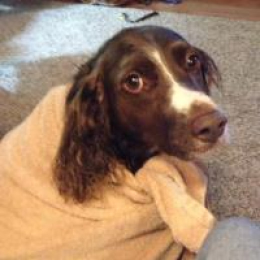Our Brittany right after his bath