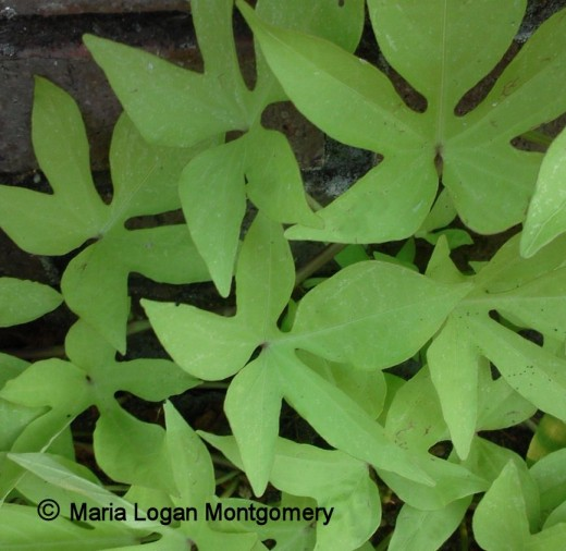 Sweet potato vine can be invasive, so be careful where you plant it.