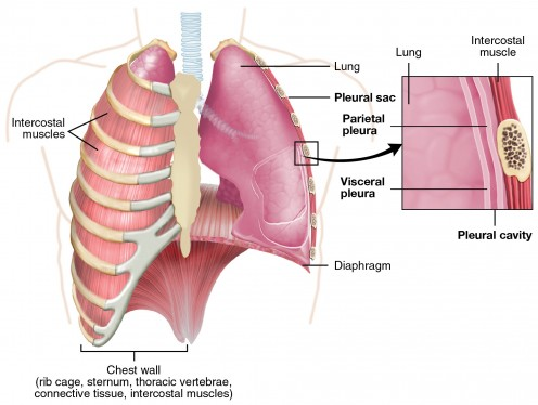 The lungs are surrounded by two membranes called the visceral pleura and the parietal pleura. The narrow space between the two membranes is called the pleural cavity and contains a small amount of a lubricating fluid.