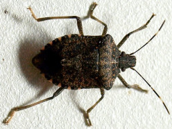 How Do I Get Rid of All These Stinkbugs?