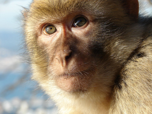 Monkey staring into his eyes