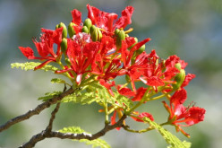 Royal Poinciana Orange Red Flowering Trees - Gulmohar - Peacock Trees - Flamboyant Trees