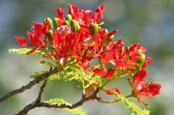 Royal Poinciana Orange Red Flowering Trees - Gulmohar - Peacock Trees - Flamboyant Trees