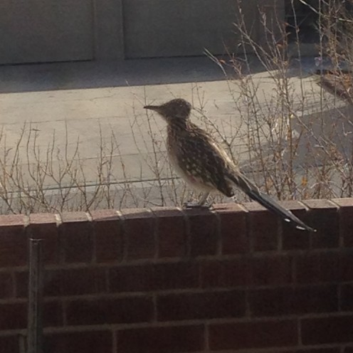 Our State bird, the Mighty Roadrunner, happily sunning himself, unaware of its photo being taken.