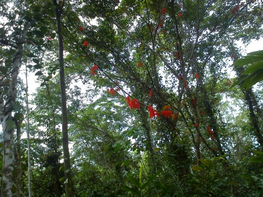 Red Jade Vine creeping into trees as far as they can.