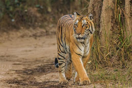 Tiger at Jim Corbett National Park By Soumyajit Nandy [CC-BY-SA-3.0 (http://creativecommons.org/licenses/by-sa/3.0)], via Wikimedia Commons
