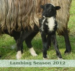 * Lambing Season 2012