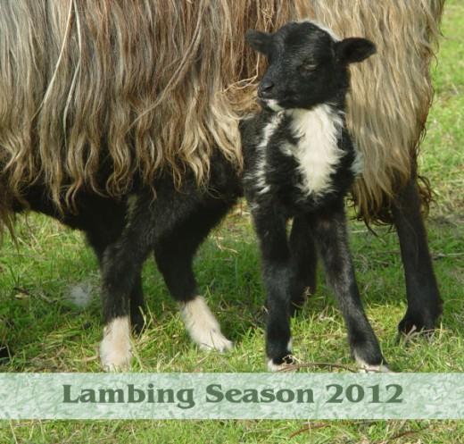 A black and white Drenthe Heath Sheep lamb.