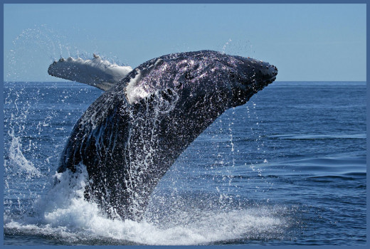 Whale breach - whales play an important part of the Hetta Coffey mysteries!