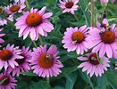 I have taken Echinacea for the immune system but grown it for it's long lasting and vibrant beauty