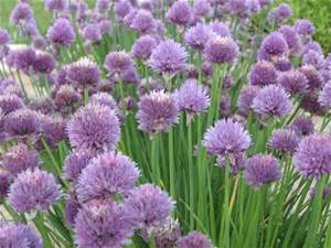 Chives better known for their culinary wonders still have some medicinal properties
