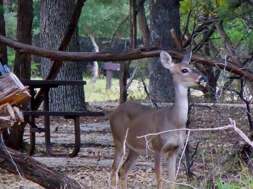 Wild Deer near Medina Lake, Texas