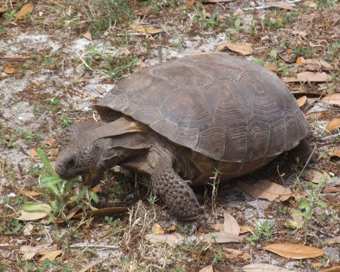 You can pick these up (carefully) and move them out of your yard. Some tortoises like this one are endangered species, so be careful that you don't harm it. This one is called a gopher tortoise and it lives in Florida.
