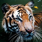 tijger3 profile image