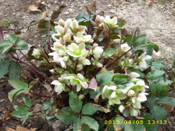 Can you propogate Hellebores from stem cuttings?