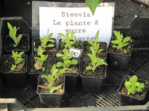 Stevia rebaudiana ready to be planted