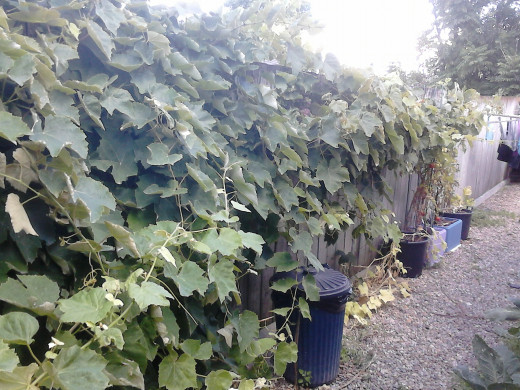 This was the vine last year. Just before harvesting the grapes