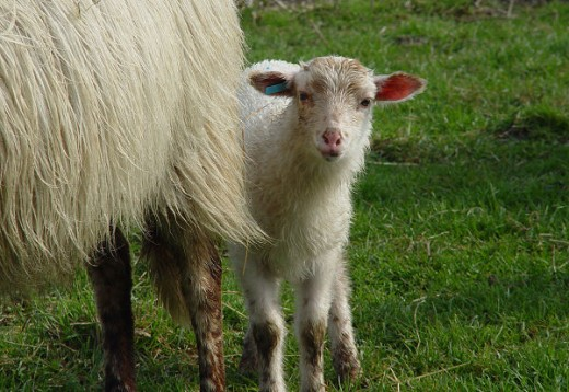 There are several factors that can lead a ewe to reject a lamb.