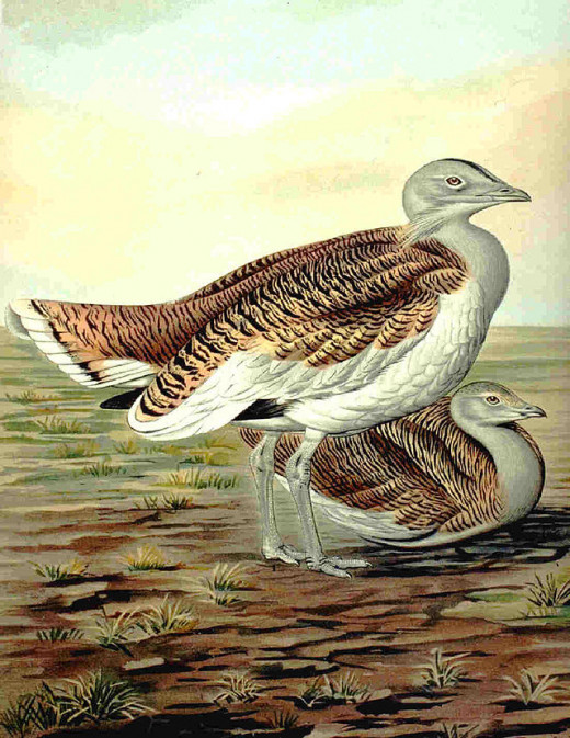 Otis tarda the Great Bustard