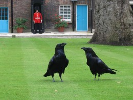 Two ravens at the Tower of London...the supposed resting place of the Welsh Celtic God Bran's head. The Ravens are said to guard him.
